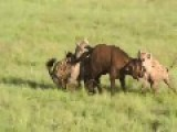 Hyenas Kill Baby Cope Buffalo ** Graphic **