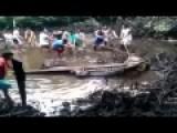Huge Crocodile Hauled Away By Hand