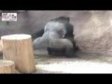 Hot Gorilla Mating Video
