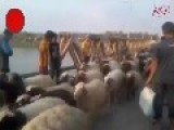 IS Captures Hundreds Of Sheep From US Backed Tribe In Syria