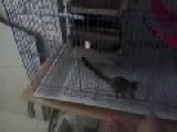In The Cage Sugar Glider