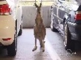 Its Not A Giant Rat .... It Is A Kangaroo, On The Loose At Melbourne Airport Car Park