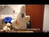 If This Cockatoo Isn't Happy, You Are Going To Hear About It!!!