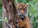 Indonesia Men Safe After Five-day Sumatran Tiger Ordeal