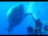 Incredible Video Of 'biggest Great White Shark Ever' High-fiving Daredevil Scientist