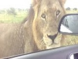 In A Tight Spot With Lions ! - Kruger National Park