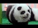Italian Circus Disguises Chow To Look Like Panda