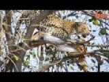 Incredible Moment A Leopard Dive-Bombs Onto Unsuspecting Prey