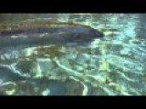 Incredible Video Of An Oarfish Swimming Near Shore