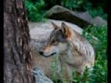 International Wolf Center LIVE Cam