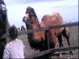 I Don't Think The Camel Likes You Very Much