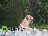India: Meet Shravan, The Baby White Tiger Survivor Abandoned By His Mother