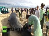 Italy: Watch These Washed-up Whales Get Saved By Surfers