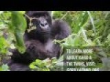 Isaro Cuddles Up To Her Gorgeous Mountain Gorilla Twin Babies