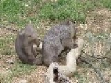 Just Two Young Wombats Mucking Around