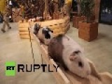 Japan: This Guinea Pig Bridge Will Warm Your Soul