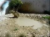 JoeJoe The Capybara Loves Rolling In Mud