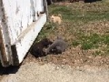 Kitten And Chihuahua Play On The Farm