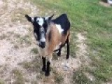 Kids Sing Song Dedicated To Creamery Goats