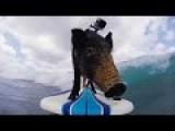 Karma Surfing Pig