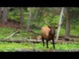 Kid Shoots Elk With Bow And Arrow, Perfect Shot