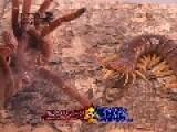 King Baboon VS Philippine Giant Centipede