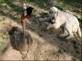 Komondor Dogs Love Their Siblings From Deer To Chicks