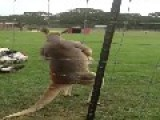 Kangaroo On Steroids