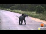 Kruger National Park's Baby Elephant Attempts To Chase Away A Flock Of Swallows