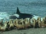 Killer Whales Vs. Sea Lions - Attenborough: Trials Of Life - BBC