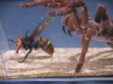 King Baboon Tarantula VS Asian Giant Hornet
