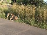 Kruger National Park Lion Attack ! Mother Defends Cub In Kruger Park