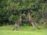 Kangaroo Does A Sleeper Hold On Another Kangaroo!