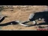 King Cobra Vs Komodo Dragon Amazing Deadliest Fight