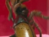 King Baboon VS Hercules Beetle REMATCH