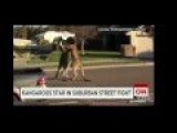 Kangaroos Fighter !! These Kangaroos Give Martial Art At The Street And Caught As Amateur Video
