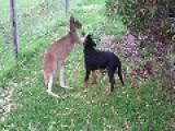 Kangaroo And Rottweiler Best BFFs Forever