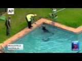 Kangaroo Rescued From Swimming Pool