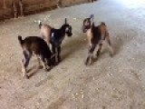 Lots Of Goat Kids Bouncing Around In A Barn