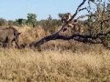 Lion Cubs Chased Up A Tree By Curious Rhinos
