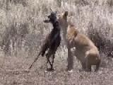 Lion Kill Wildebeest Calf 2014