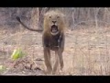 Lion Charges Tourists On Walking Safari