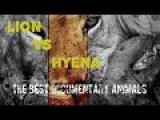 Lion Vs Hyena The Best Documentary Animals In Africa | Full Journey Fight HD