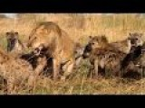 Lion Vs Hyena Real Fight