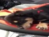 Little Dachshund Puppy Throws A Tantrum