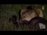 Lion Mating And Hunting Life Documentary