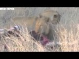 Lions Kill And Eat Zebra