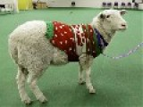 Lost Sheep In Holiday Sweater Finds Owner