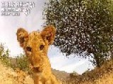 Lion Cub Vs GoPro
