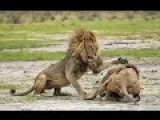 Lion Vs Lion Amazing Video....!!!